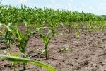 Ділянки харчової кукурудзи