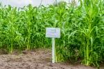 Ділянка посіву цукрової кукурудзи «Білосніжка»