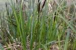 Типова рослинність заболочених масивів у Полтавській області