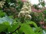 Каштанове цвітіння в Старобільську