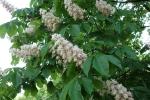 цвітіння каштанів