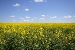 Ріпакове поле в Білокуракинському районі