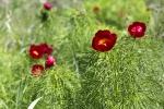 Цвітіння півонії тонколистої